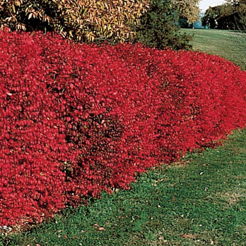 Ornamental Landscaping Bushes : Ornamental shrubs for landscaping images
