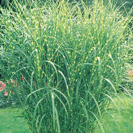 Zebra ornamental grass provides an exotic border for Full sun ornamental grass