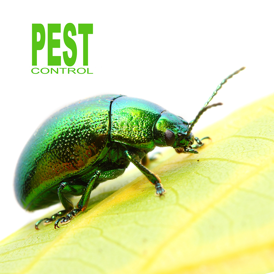 bigstock-The-Mint-beetle-Chrysomela-co-48256298
