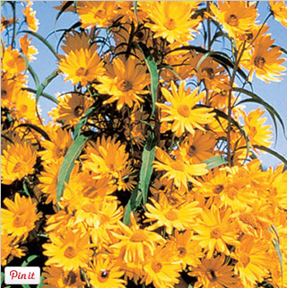 Buy Maximillian Sunflower at Michigan Bulb