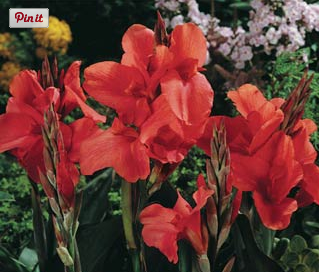 Flower Bulbs   Giant Canna Pink President Miss Oklahoma