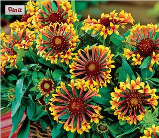 Gardening in spring and summer archives michigan bulb blog sun perennials fanfare blanket flower mightylinksfo
