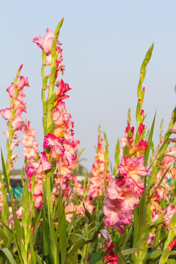 Gladiolus Bulbs